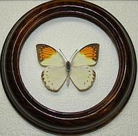 Сувенир - Бабочка в рамке Hebomoia glaucippe f. Оригинальный и неповторимый подарок!, фото 1