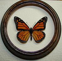 Сувенир - Бабочка в рамке Danaus plexippus. Оригинальный и неповторимый подарок!