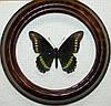 Сувенир - Бабочка в рамке Battus polydamas. Оригинальный и неповторимый подарок!