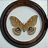 Сувенир - Бабочка в рамке Antheraea polyphemus f. Оригинальный и неповторимый подарок!