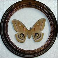 Сувенир - Бабочка в рамке Antheraea polyphemus f. Оригинальный и неповторимый подарок!, фото 1