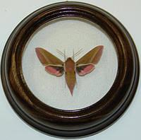 Сувенир - Бабочка в рамке Deilephila elpenor. Оригинальный и неповторимый подарок!