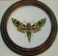 Сувенир - Бабочка в рамке Daphnis nerii. Оригинальный и неповторимый подарок!