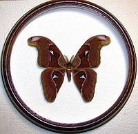 Сувенир - Бабочка в рамке Attacus atlas m. Оригинальный и неповторимый подарок!, фото 1