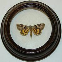 Сувенир - Бабочка в рамке Catocala fulminea. Оригинальный и неповторимый подарок!