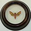 Сувенир - Бабочка в рамке Deilephila porcellus. Оригинальный и неповторимый подарок!