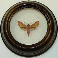 Сувенир - Бабочка в рамке Deilephila porcellus. Оригинальный и неповторимый подарок!, фото 1