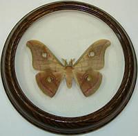 Сувенир - Бабочка в рамке Antheraea mylitta. Оригинальный и неповторимый подарок!