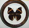 Сувенир - Бабочка в рамке Opsiphanes tamarindi. Оригинальный и неповторимый подарок!
