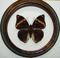 Сувенир - Бабочка в рамке Opsiphanes tamarindi. Оригинальный и неповторимый подарок!, фото 1