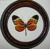 Сувенир - Бабочка в рамке Melinaea mnasias comma. Оригинальный и неповторимый подарок!