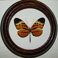 Сувенир - Бабочка в рамке Melinaea mnasias comma. Оригинальный и неповторимый подарок!, фото 1