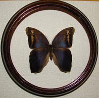 Сувенир - Бабочка в рамке Eryphanis polyxena f. Оригинальный и неповторимый подарок!
