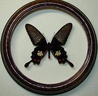 Сувенир - Бабочка в рамке Atrophaneura mariae. Оригинальный и неповторимый подарок!, фото 1