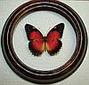 Сувенир - Бабочка в рамке Cethosia biblis. Оригинальный и неповторимый подарок!