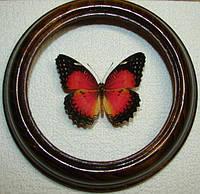 Сувенир - Бабочка в рамке Cethosia biblis. Оригинальный и неповторимый подарок!, фото 1