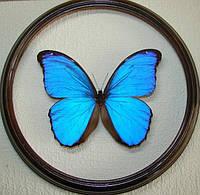 Сувенир - Бабочка в рамке Morpho didius m. Оригинальный и неповторимый подарок!, фото 1