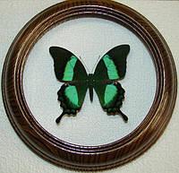 Сувенир - Бабочка в рамке Papilio palinurus. Оригинальный и неповторимый подарок!
