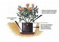 Посадка роз с закрытой корневой системой
