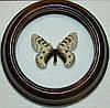 Сувенир - Бабочка в рамке Parnassius staudingeri infernalis. Оригинальный и неповторимый подарок!