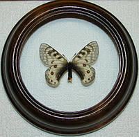 Сувенир - Бабочка в рамке Parnassius staudingeri infernalis. Оригинальный и неповторимый подарок!, фото 1