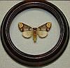 Сувенир - Бабочка в рамке Phalera bucephala. Оригинальный и неповторимый подарок!