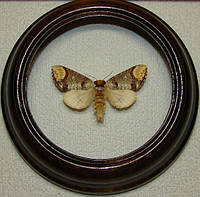 Сувенир - Бабочка в рамке Phalera bucephala. Оригинальный и неповторимый подарок!, фото 1