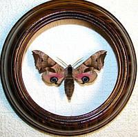 Сувенир - Бабочка в рамке Smerinthus ocellatus. Оригинальный и неповторимый подарок!