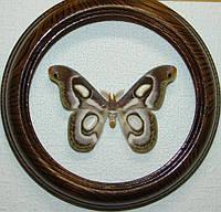 Сувенир - Бабочка в рамке Epiphora bauhiniae m. Оригинальный и неповторимый подарок!, фото 1
