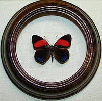 Сувенир - Бабочка в рамке Callicore cajetani. Оригинальный и неповторимый подарок!