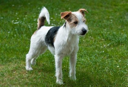 Корм для собак породы джек-рассел-терьер Royal Canin Jack Russell Terrier Adult