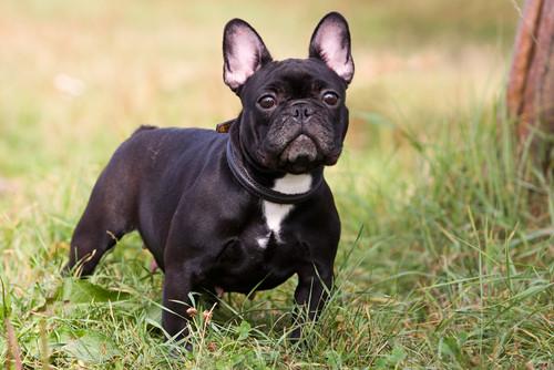 Корм для собак породы французский бульдог Royal Canin French Bulldog Adult