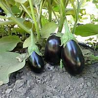 Семена баклажана Прадо F1 (KS 27 F1) 100 семян Kitano