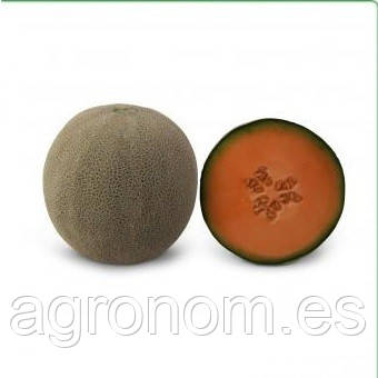 Семена дыни KS 7084 F1 1000 семян Kitano Seeds