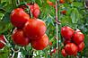 Биологические особенности роста и развития растений томата.