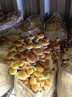 Технология выращивания экзотических грибов
