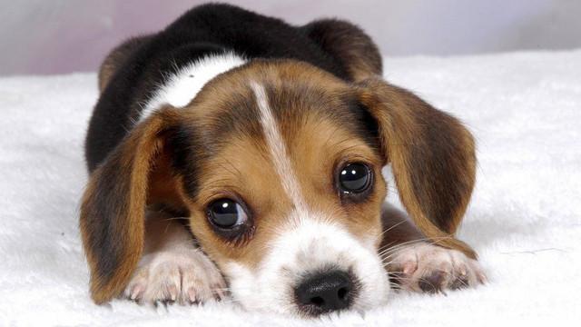 Корм для щенков средних пород Acana Puppy & Junior