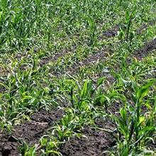 Рекомендации по борьбе с сорняками в посевах кукурузы