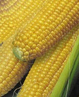 Семена сахарной кукурузы Роксолана (оптом от производителя)
