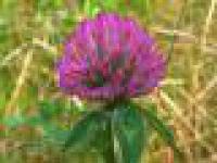 Семена Клевера
