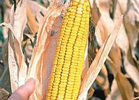 Семена кукурузы  Білозірський 295СВ