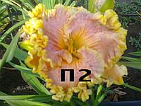 Лилейник Сеянец П2 (саженцы)