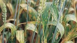 Внимание ! Болезни зерновых культур !