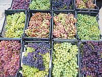 Саженцы и  черенки  винограда ,ежевики, рассада  земляники  садовой., фото 1