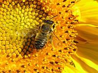 Навіщо весняні обльоти бджіл.