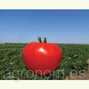 Насіння томату Акела F1 5000 насіння Clause Seeds