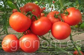 Семена томата Картье F1 1000 семян Clause Seeds