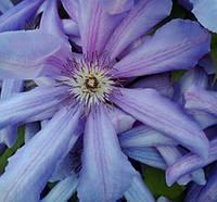 Клематис  лилово-фиолетовый 1год