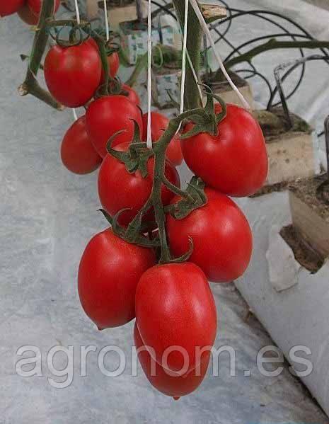 Семена томата Колибри F1 250 семян Clause Seeds