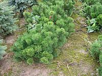 Сосна горная (Pinus mugo var. pumilio)